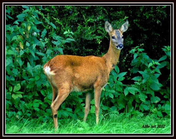 Roe Deer in my garden by nazimundo