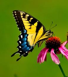Swallowtail Butterfly on a Purple Coneflower