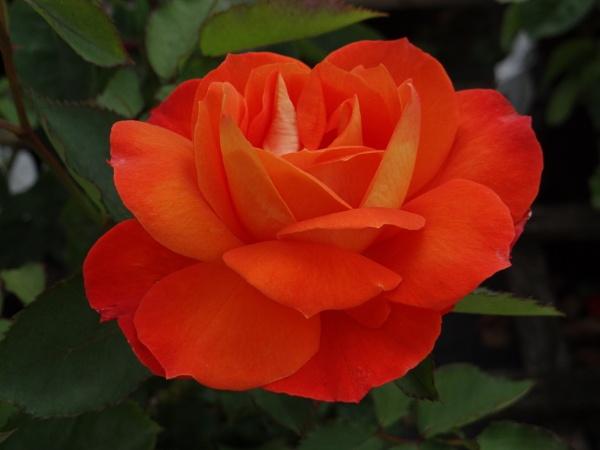 Orange Rose.. by bictonbabe12