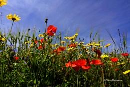 Crantock poppies