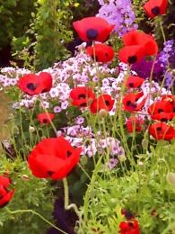 Ladybird Poppies