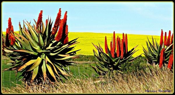 Aloe and canola by Hermanus