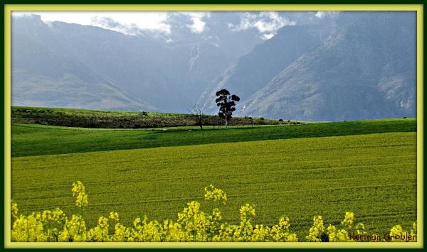 A Lone tree by Hermanus