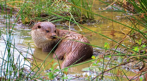 Otter in Lake by tanglefoot