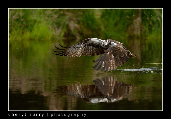 Osprey and reflection by csurry