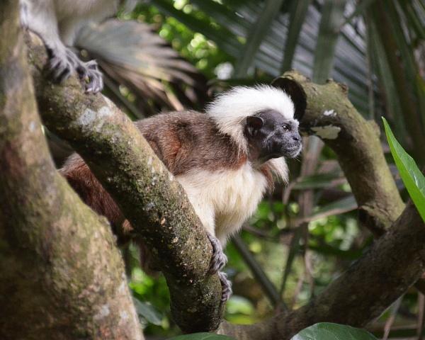 Cotton Head Monkey by millaross