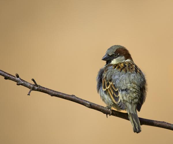 Sparrow by Davesumner