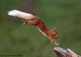 A Red Squirrel caught