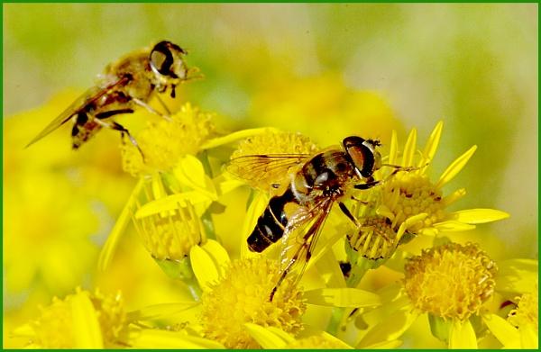 Hoverflies on Ragwort. by Badgerfred