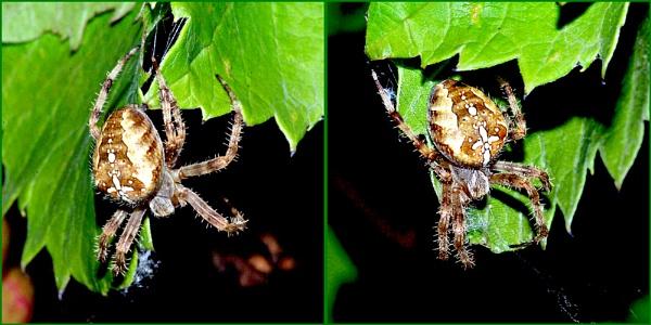 Garden Spider 07. by Badgerfred