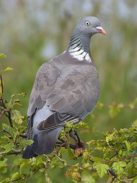 bird in the bush by derr