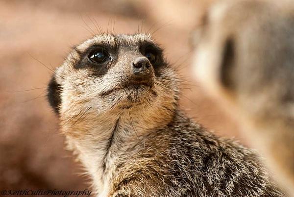 Meerkat by KeithCullis