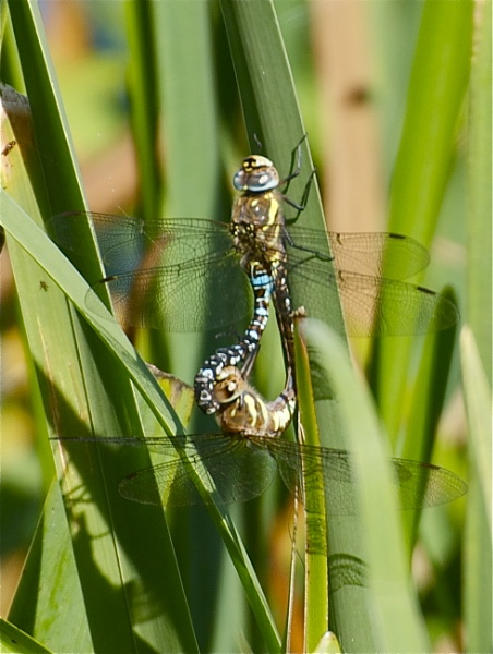 Migrant Hawkers-mating by PaulLiley