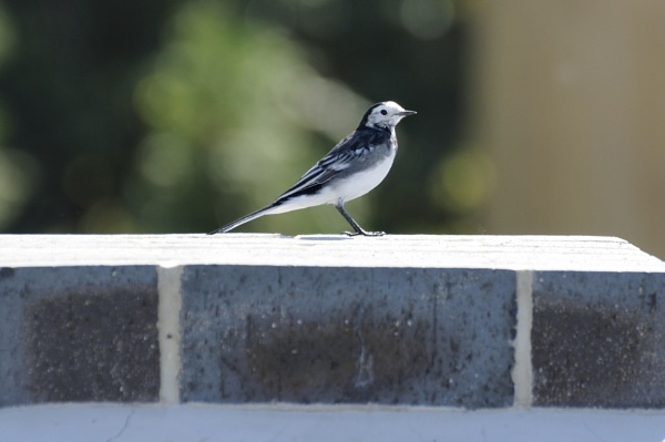 Pied Wagtail (i think !!) by Nick_G