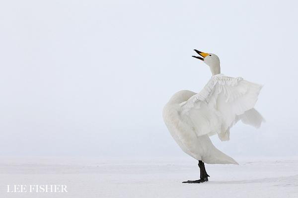 WHOOPER SWAN by LeeFisher