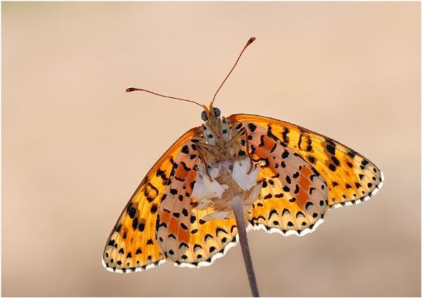 Spotted Fritillary by NigelKiteley