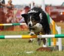 Agility dog by AlanWillis