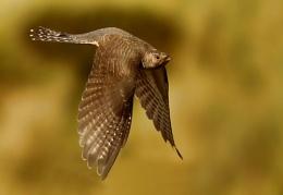 Cuckoo's flight.