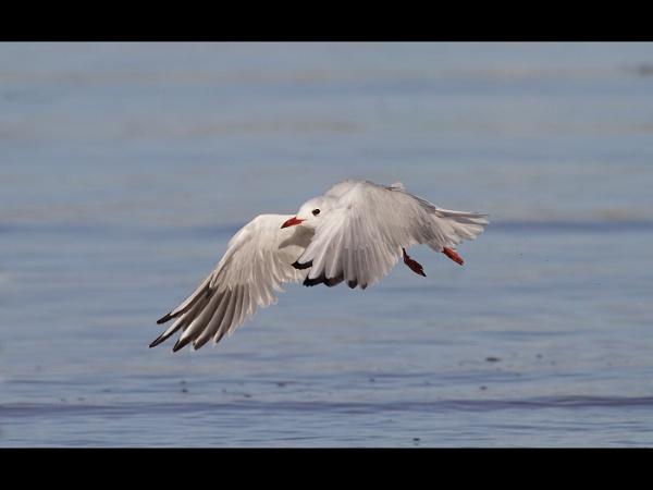 Gull in Flight by KathrynJ
