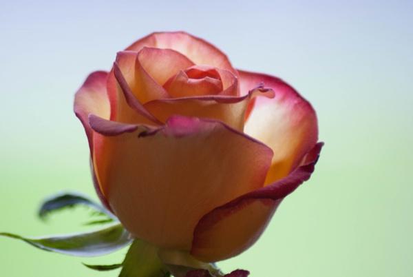 Peach Rose by Ashley102