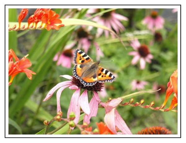 Butterfly by kojack