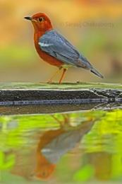reflection of orange thrush