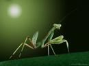Mantis by aeras