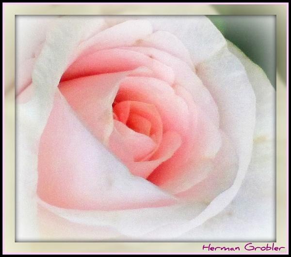 Pink haze by Hermanus