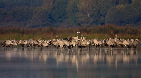 common crane by olesniczanin