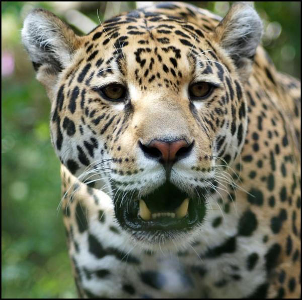 Jaguar by imjam