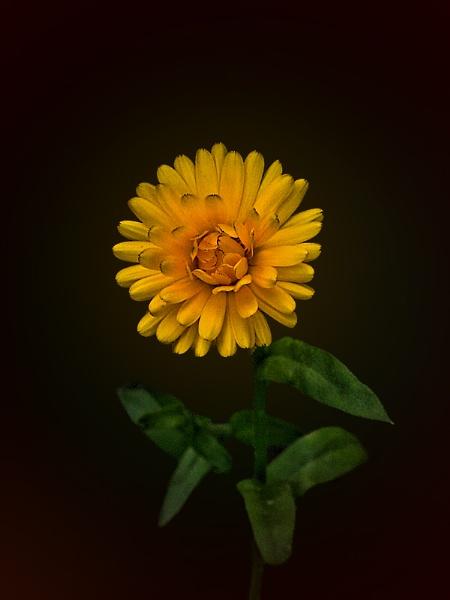Calendula by Big_Beavis