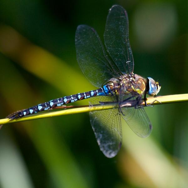 Bright Blue Dragonfly by StephenBrighton