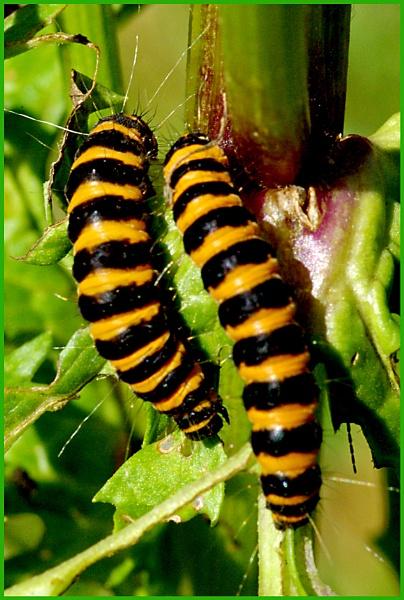 Caterpillars of Cinnabar Moth 03. by Badgerfred