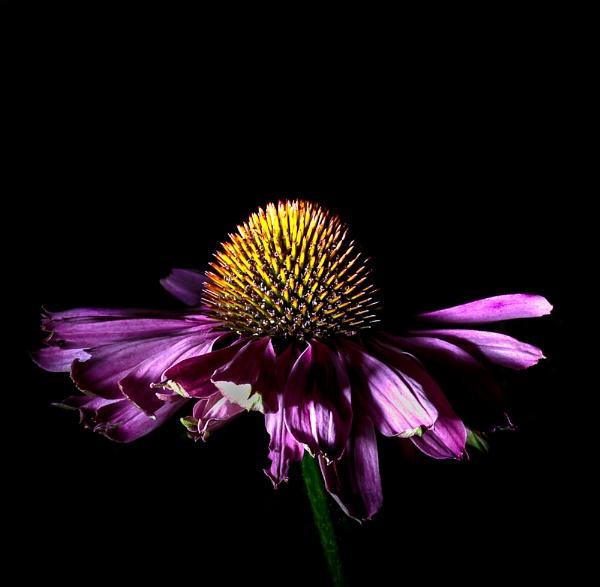 echinacea by dwarf