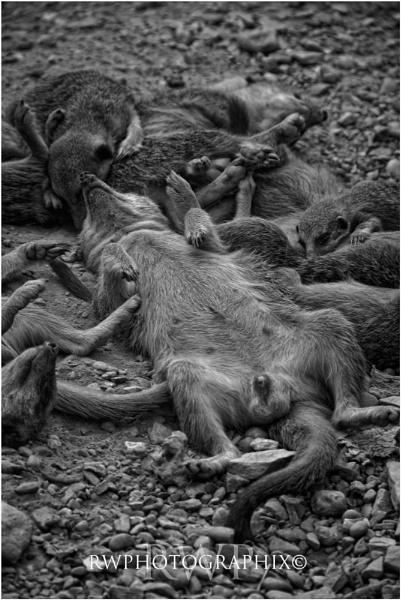 Meerkat Massacre.....  Simple! by RWPhotoGraphix