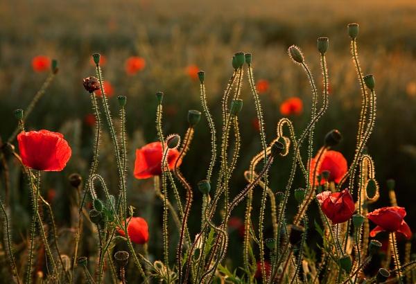 Eynesford Poppies by derekhansen