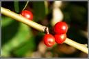 Berries by macroman