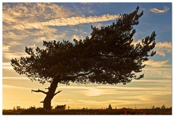 Fir Tree by mjparmy