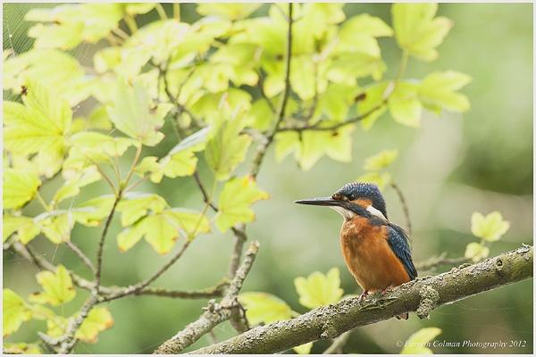Kingfisher by skidzy