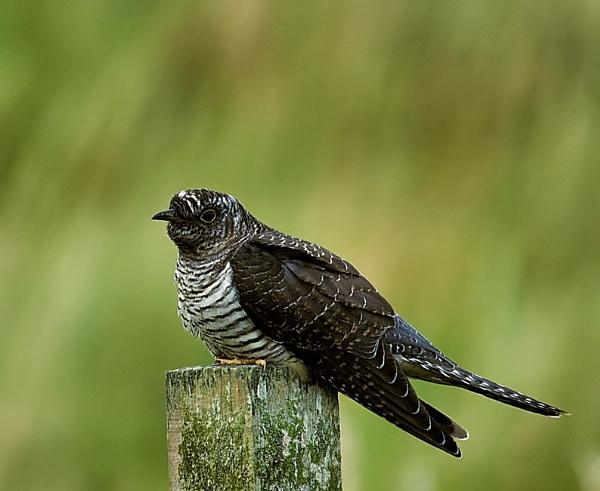 Cuckoo by Geordie_Rooster