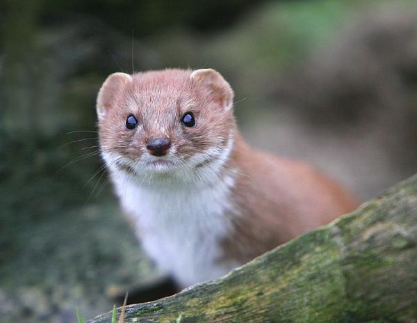 Weasel by f8