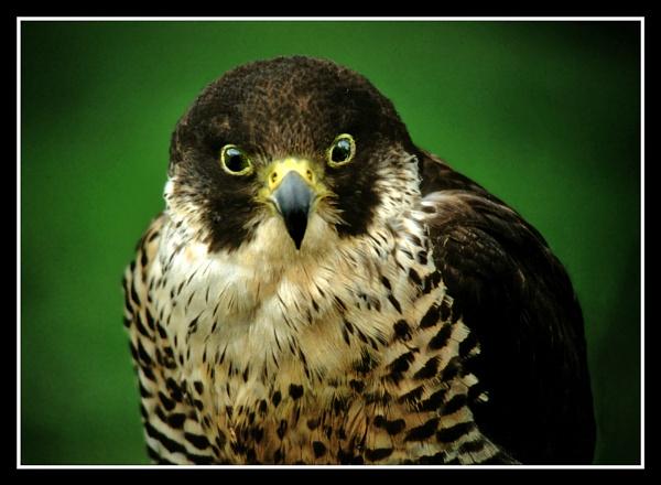 Hobby falcon by fificat100