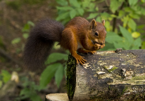 Red Squirrel by tyronet2000