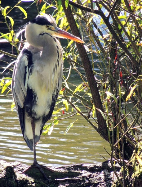 Heron by kathrynlouise