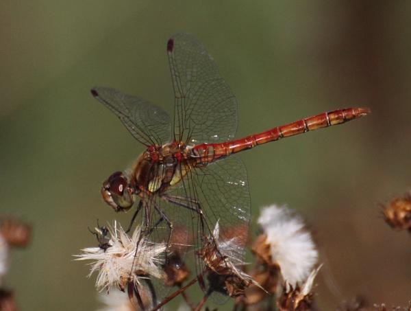 Dragonfly by ali63