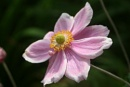 clematis or is it a japanese anemone