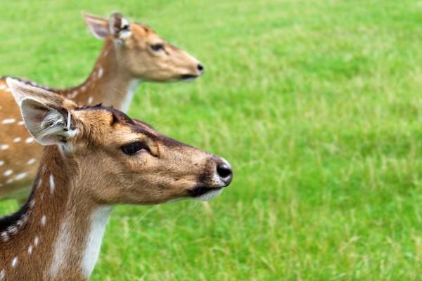Deer heads by SH87