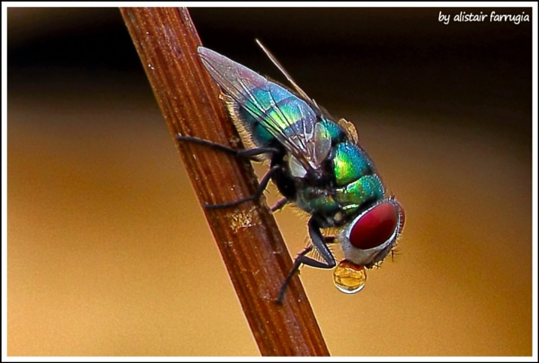 A green fly and its bubble