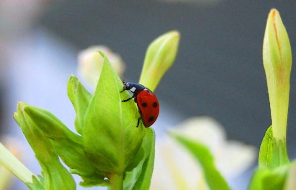 ladybug by Jawoi