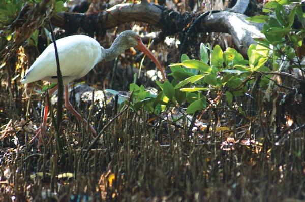 Florida Keys - Ibis by TedBraid